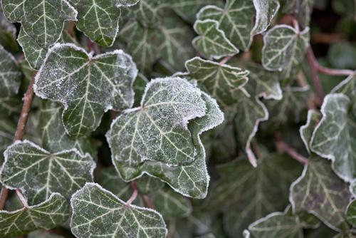 Efeuhecke & Euonymushecke – Pfelgehinweise für den Winter