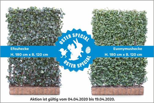 ABGELAUFEN | Oster Special | Efeuhecke & Euonymushecke – jetzt bestellen!